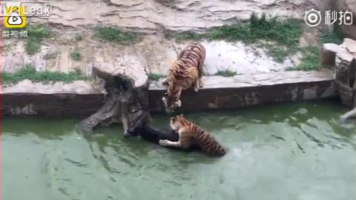 Así devoraban los tigres al burro