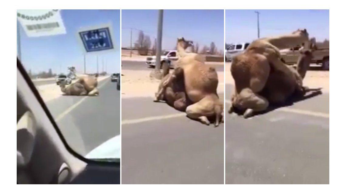 Los camellos bloquearon el tránsito