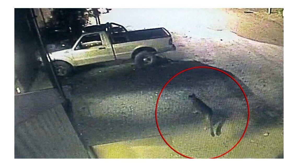 El puma fue captado por una cámara de seguridad