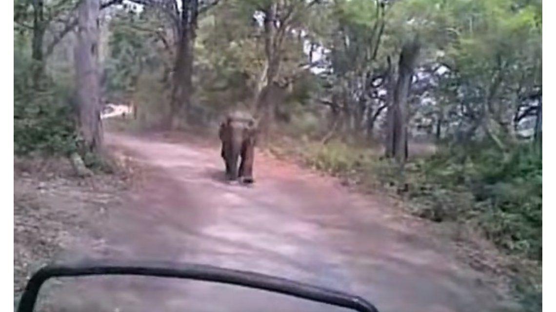 Un elefante los hizo huir en medio de un safari