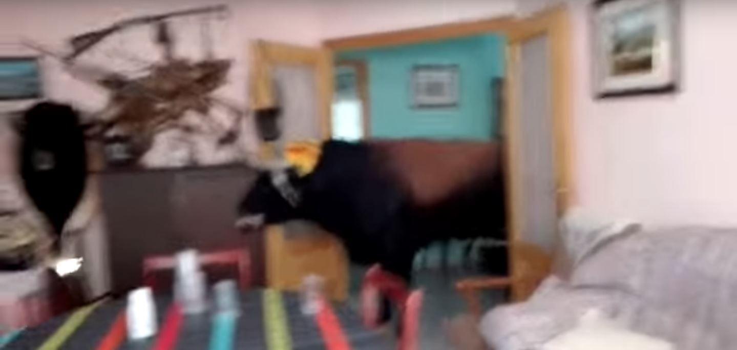 Un toro se metió en una casa durante una corrida