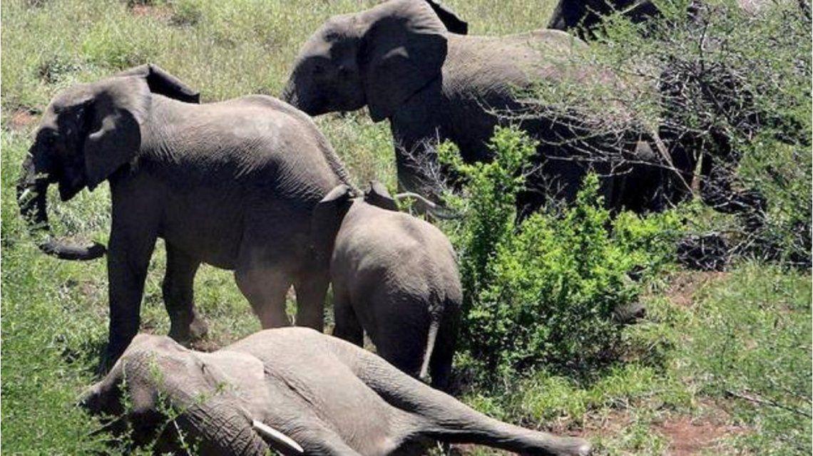 Cazaba un elefante pero murió aplastado por otro que lo atacó en venganza