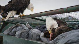 Las águilas invaden cada rincón del pueblo