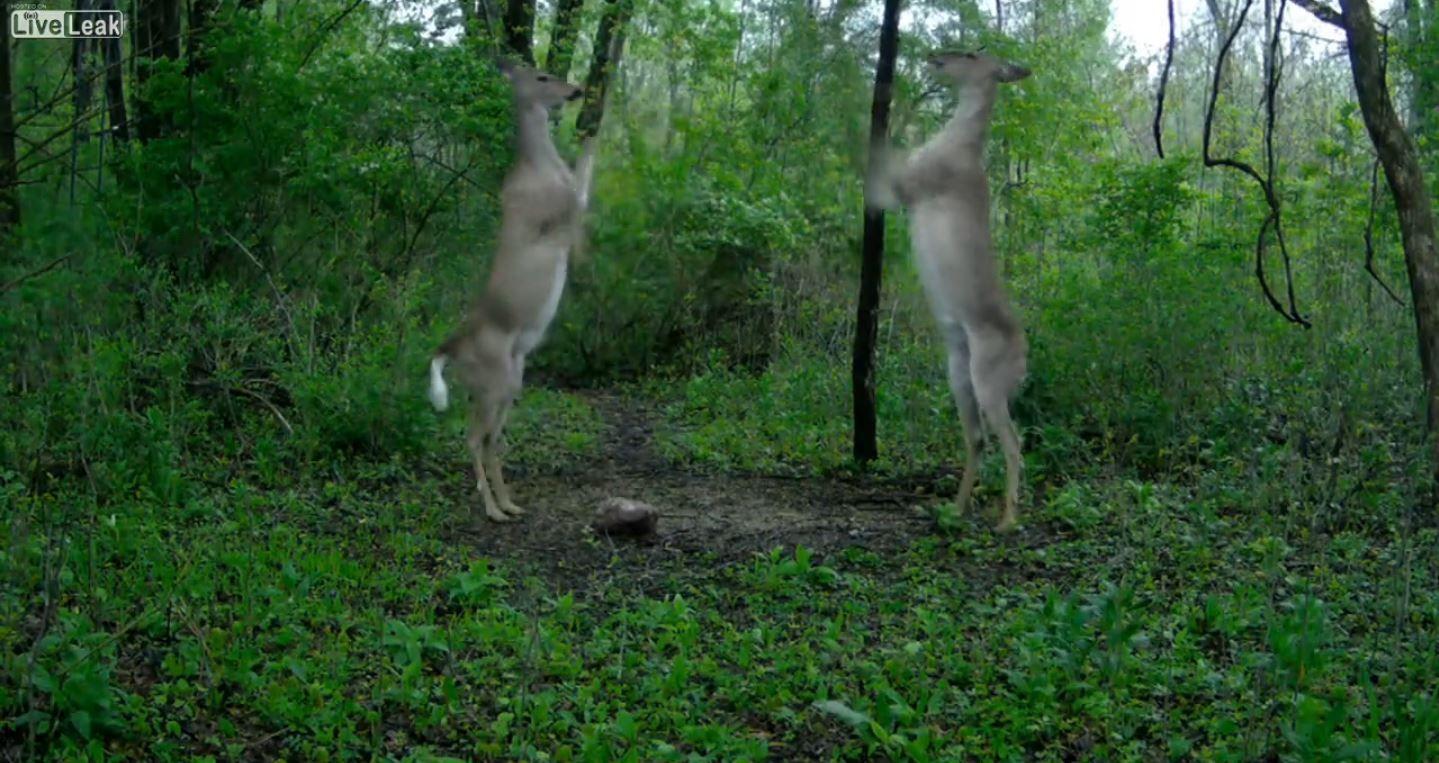Mirá cómo se pelean dos ciervos