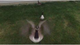 El ganso que no soportó al drone que lo filmaba y lo tiró abajo