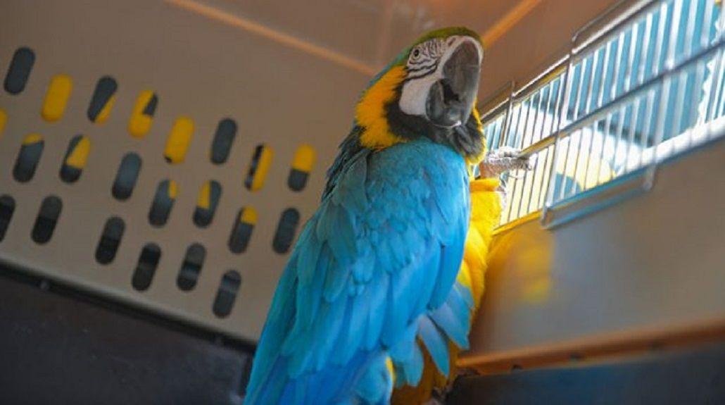 Los guacamayos azules y amarillos pueden costar hasta $30.000 en el mercado legal