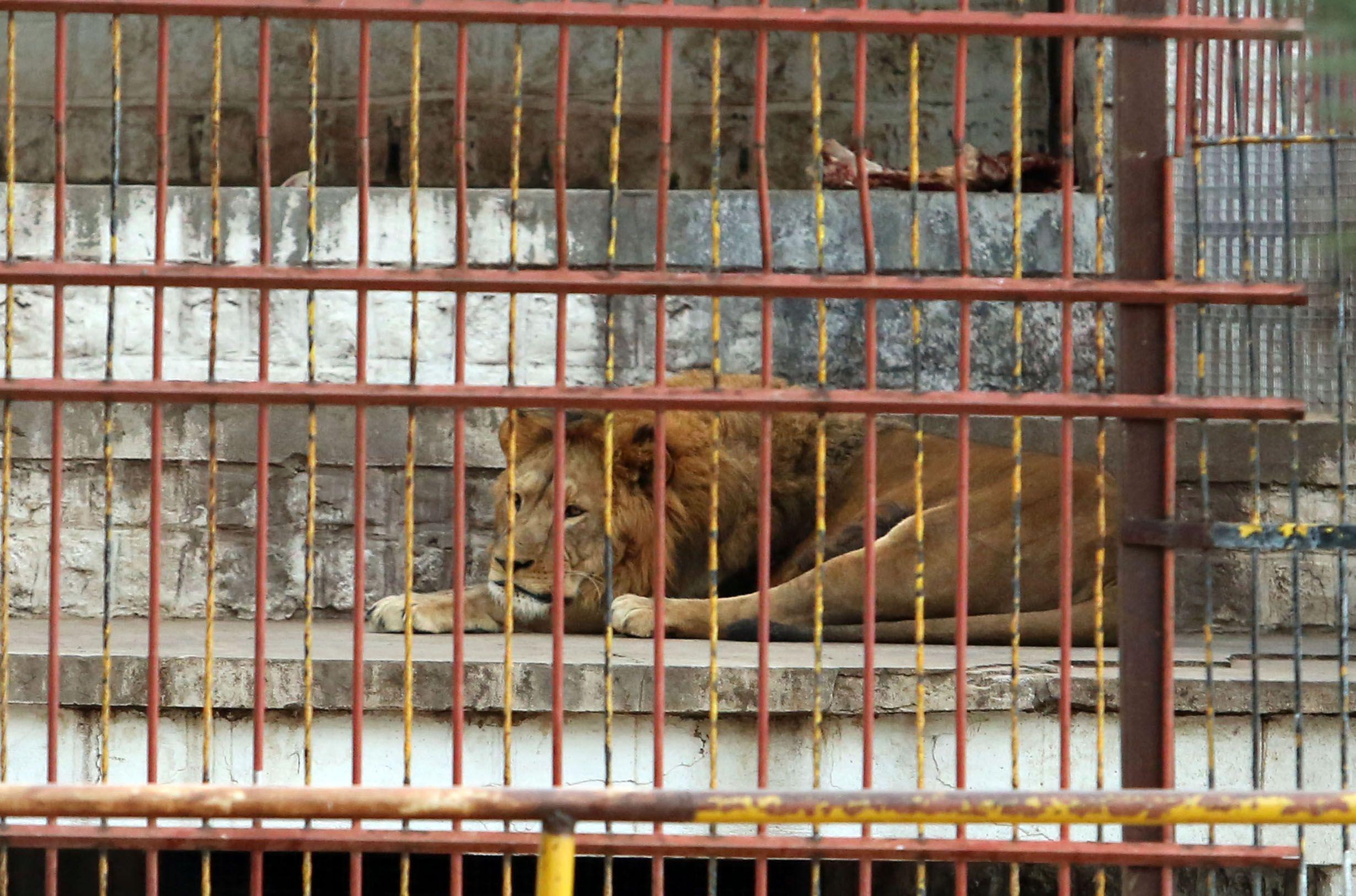 Así estaba la leona en el zoológico