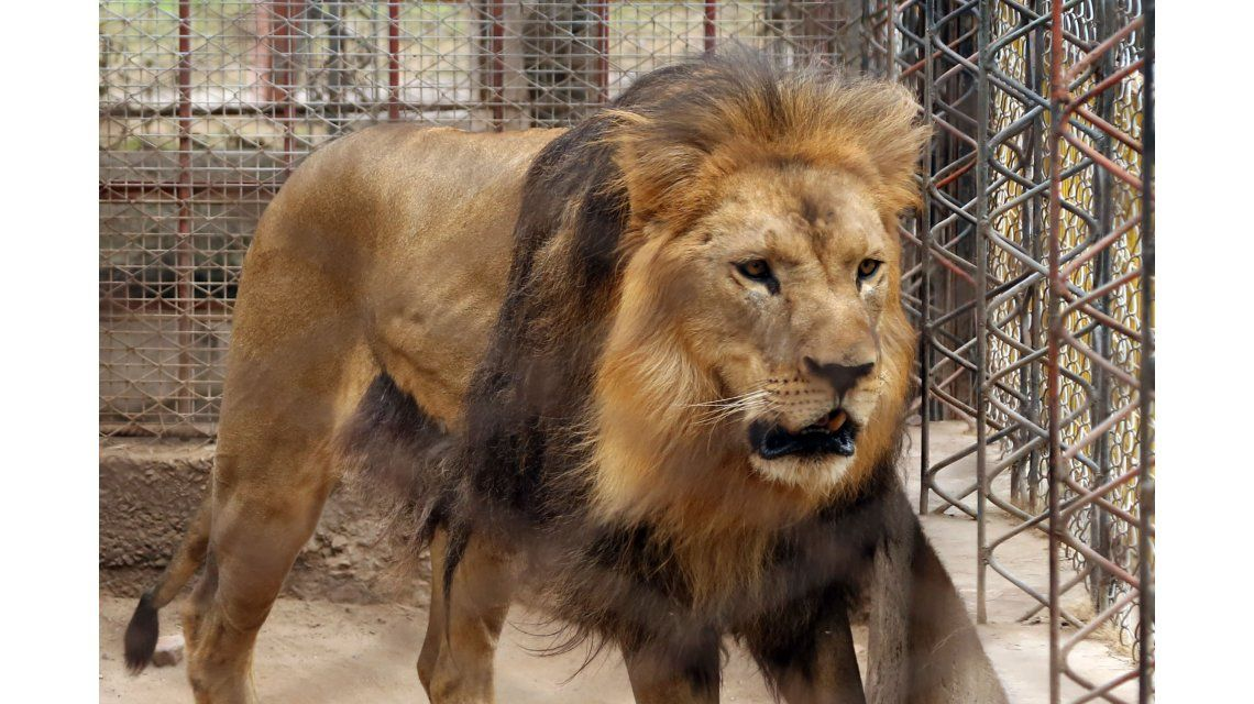 Esta es la leona que se murió en el zoológico