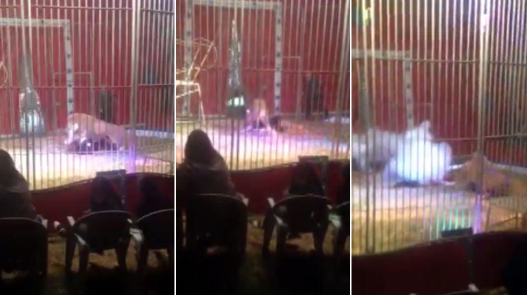 Un léon atacó a un domador en un circo de Francia
