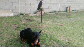 Los ladrones mataron al perro y se llevaron al halcon