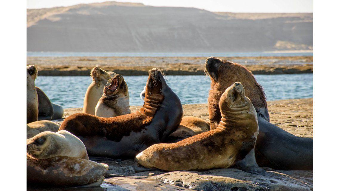 Los lobos marinos