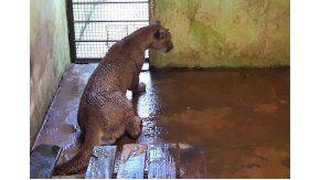 El puma ya se encuentra en una reserva de Misiones