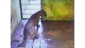 Piden liberar al puma capturado en Cataratas
