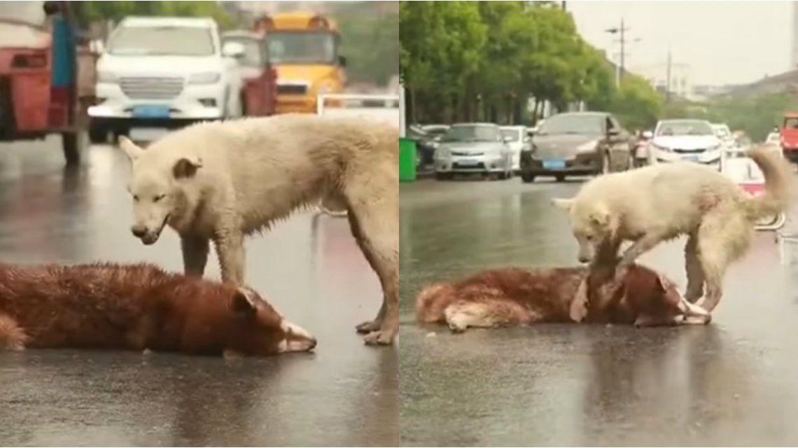 El perro no quiso abandonar a su amigo que murió en la calle