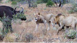 La pelea entre leones y un búfalo en un parque de Sudáfrica