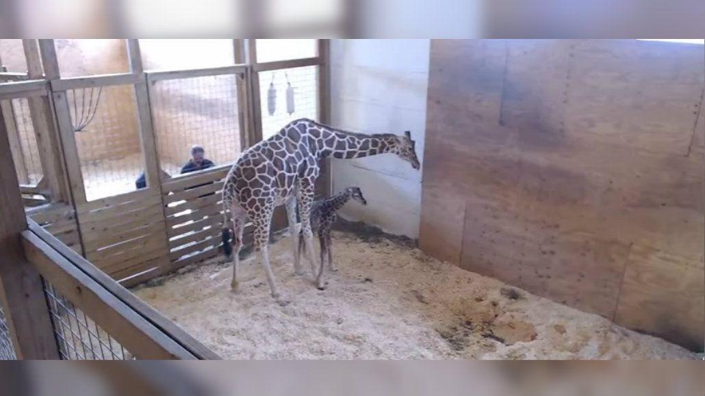 Un millón de personas vio el nacimiento de la jirafa