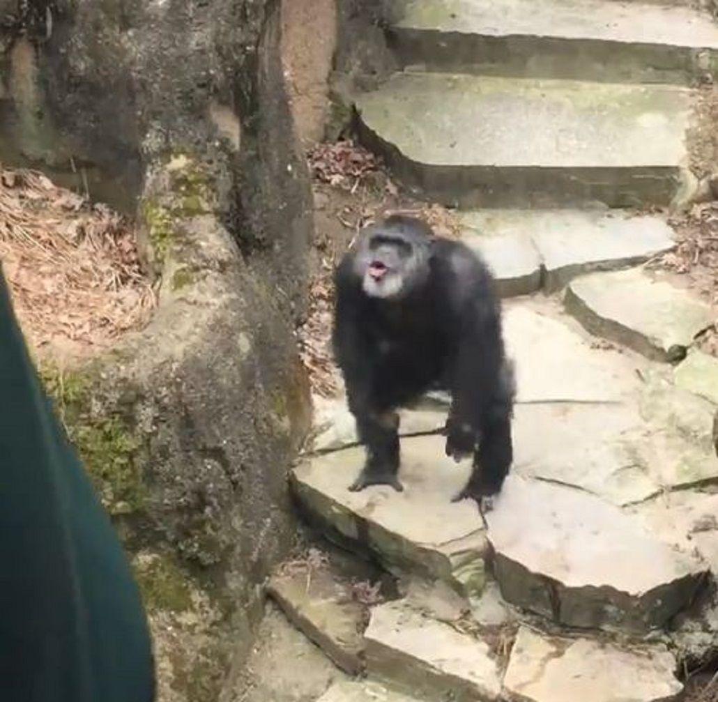 Un chimpancé le tiró excrementos en el rostro a una señora