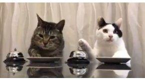 Dos gatos que piden comida con una campana se vuelven virales