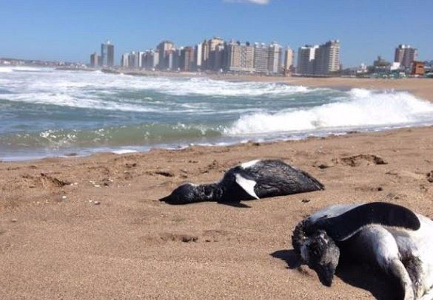 Más de Cien pingüinos murieron en las playas de Miramar