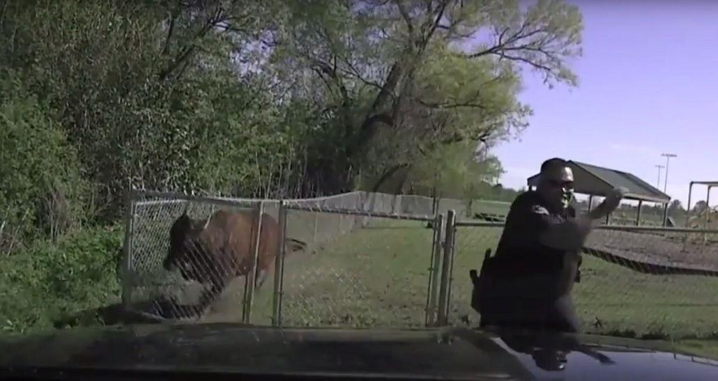 VIDEO: un policía quiso arrear una vaca y terminó corriendo por todo el campo