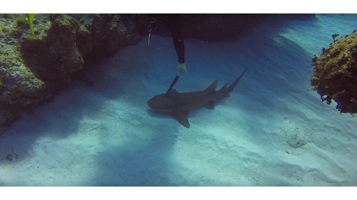 Un buzo salvó a un tiburón que tenía clavado un cuchillo