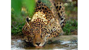 Cazadores mataron un yaguareté en Misiones
