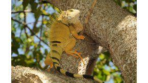 Una iguana en el Bajo Cauca