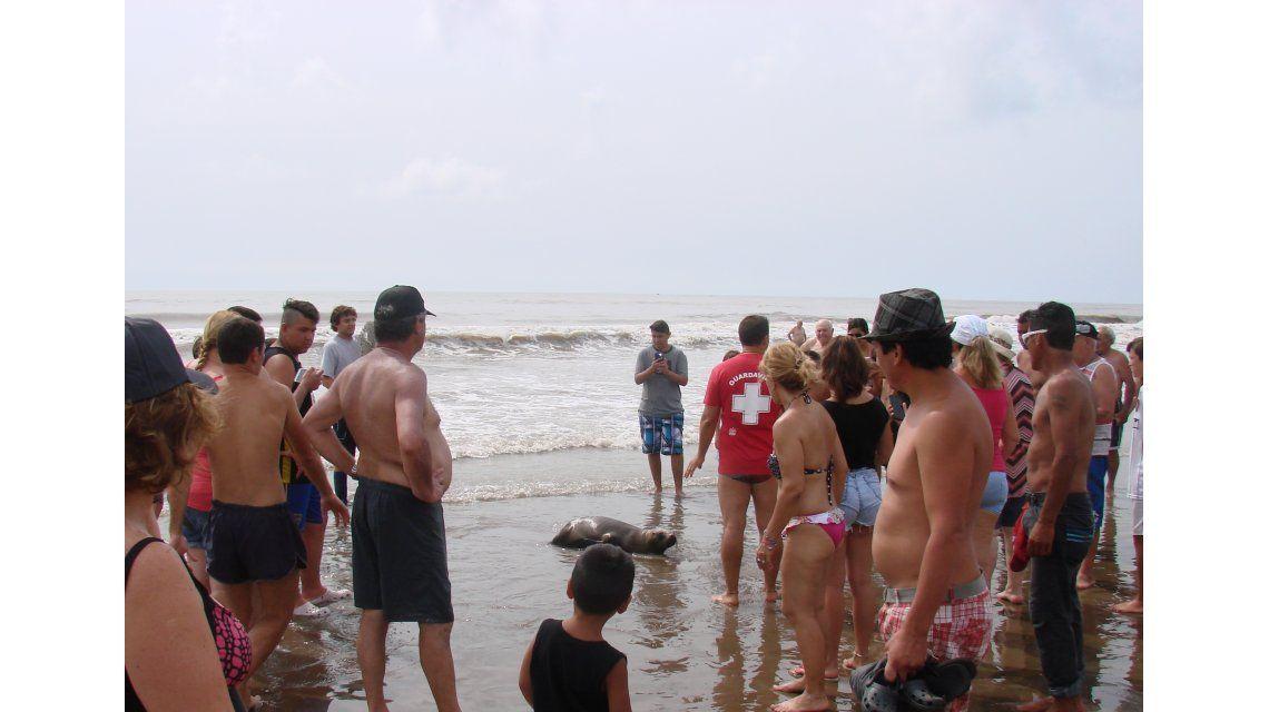 Un lobo marino fue afectado por turistas en la playa
