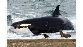 Temporada de avistaje de orcas en Península de Valdés