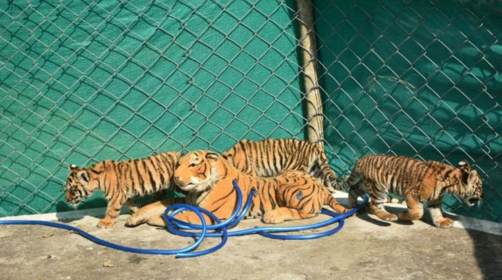 Los cachorros de tigre ya se recuperan