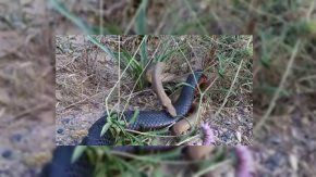 Las dos serpientes se pelearon a muerte
