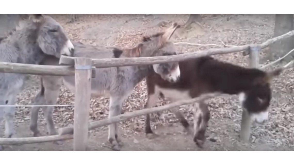 Un burro encontró cómo abrir un cerco