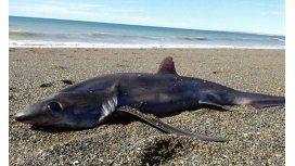 El tiburón zorro que apareció muerto en Chubut