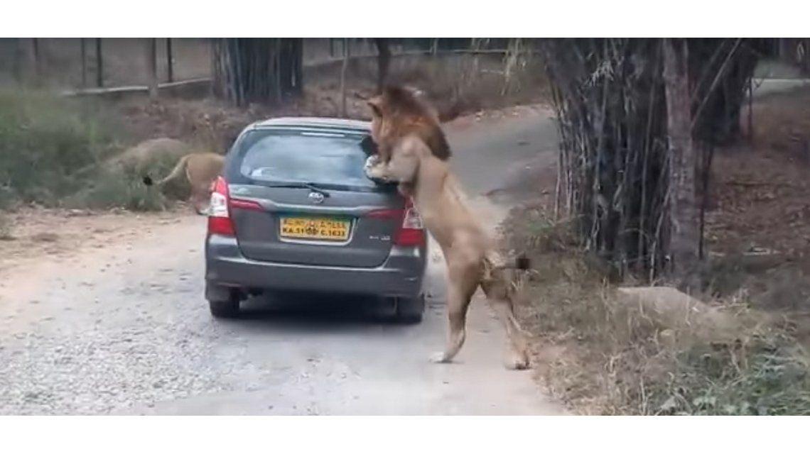 Un león atacó un auto en el parque nacionalBannerghatta
