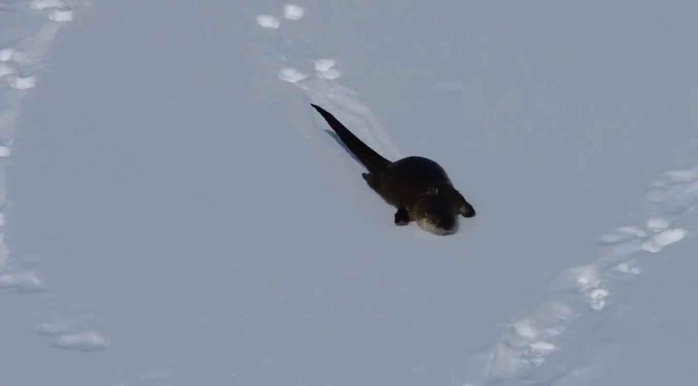 La nutria que no para de deslizarse en la nieve