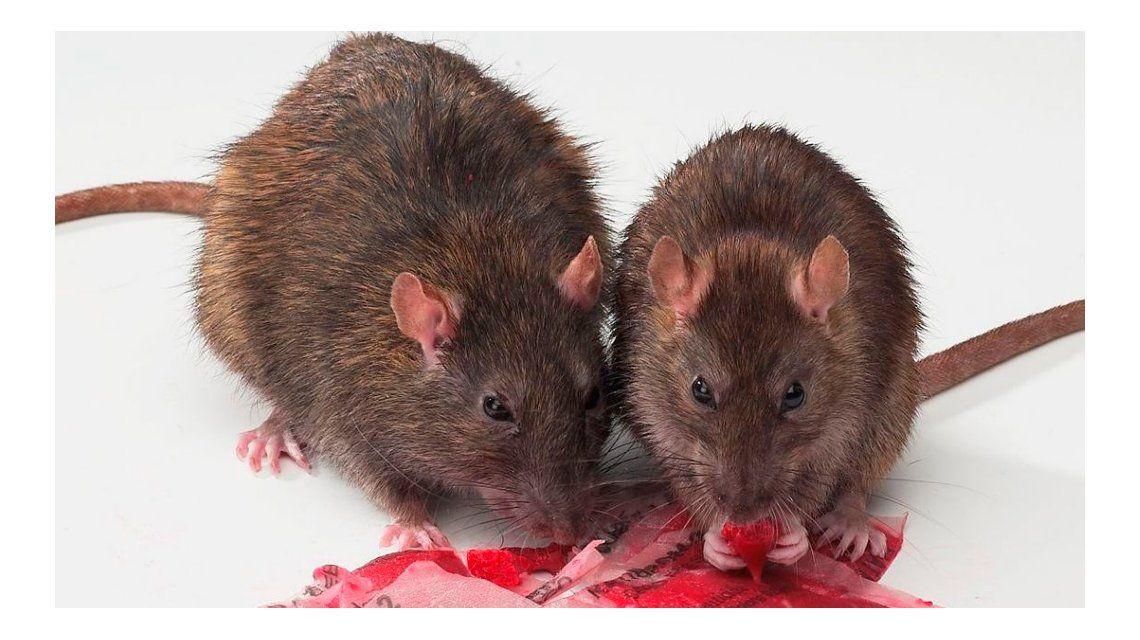 Prohíben el uso y la venta de raticidas y otros venenos en todo el país