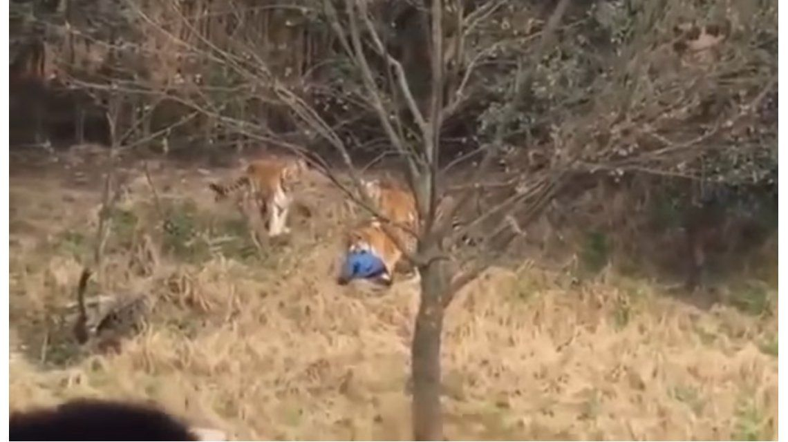VIDEO: Un tigre mató a un hombre en un zoológico de China