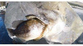 En un bloque de hielo un pez quedó atascado cuando intentada comerse a otro