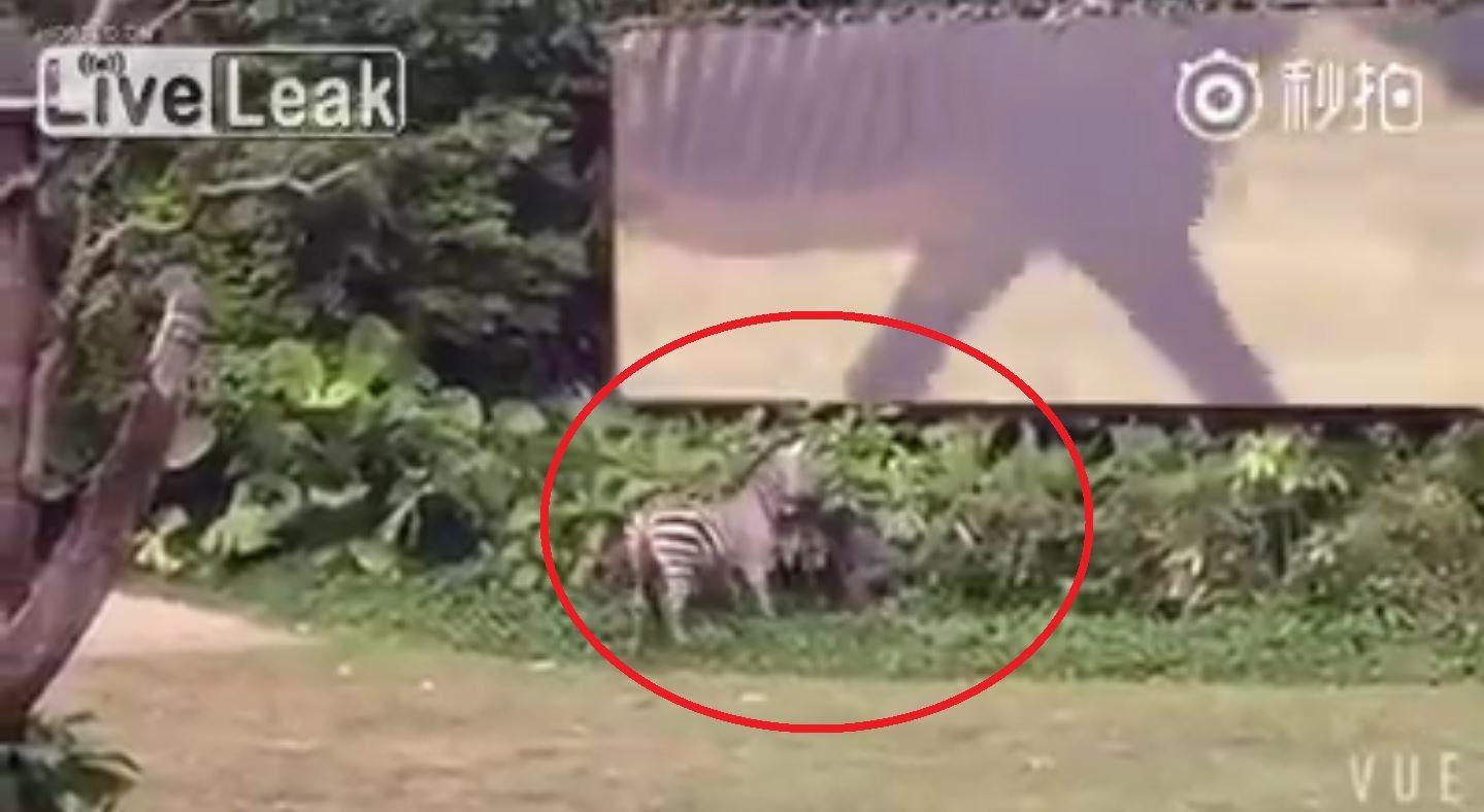 Una cebra ataca a su cuidador en un zoo de China
