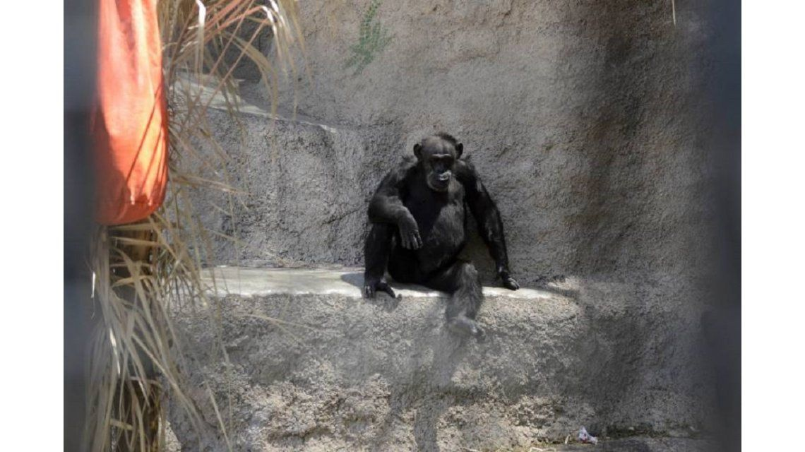 La chimpancé Cecilia será trasladada a Brasil. Foto: diario Los Andes.