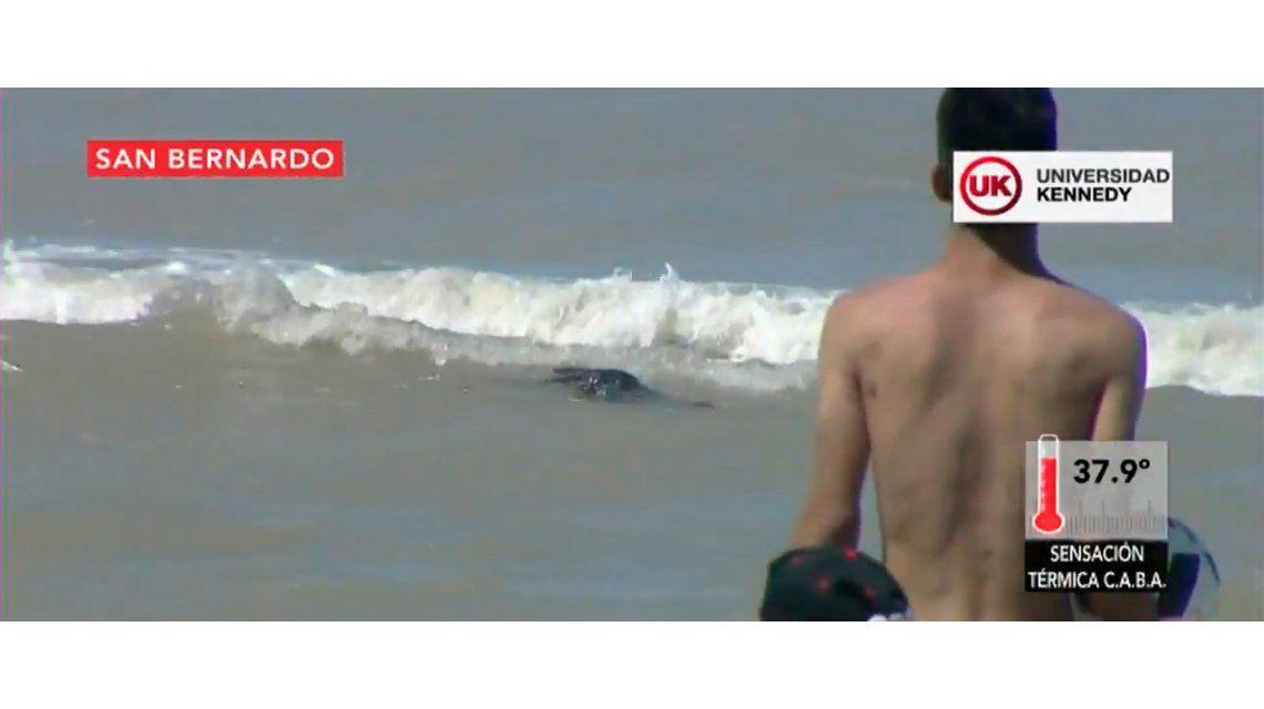 Revuelo en la playa de San Bernardo por la aparición de un lobo marino