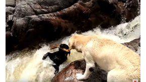 Un perro salvó a otro de que se lo llevara el río