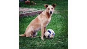 Simón, el perro que fue baleado en Córdoba
