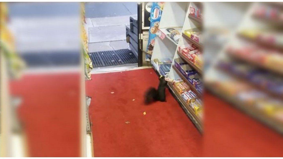 Ardillas roban en una tienda