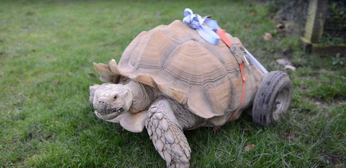 Una tortuga se lesionó tras participar de un programa de reproducción