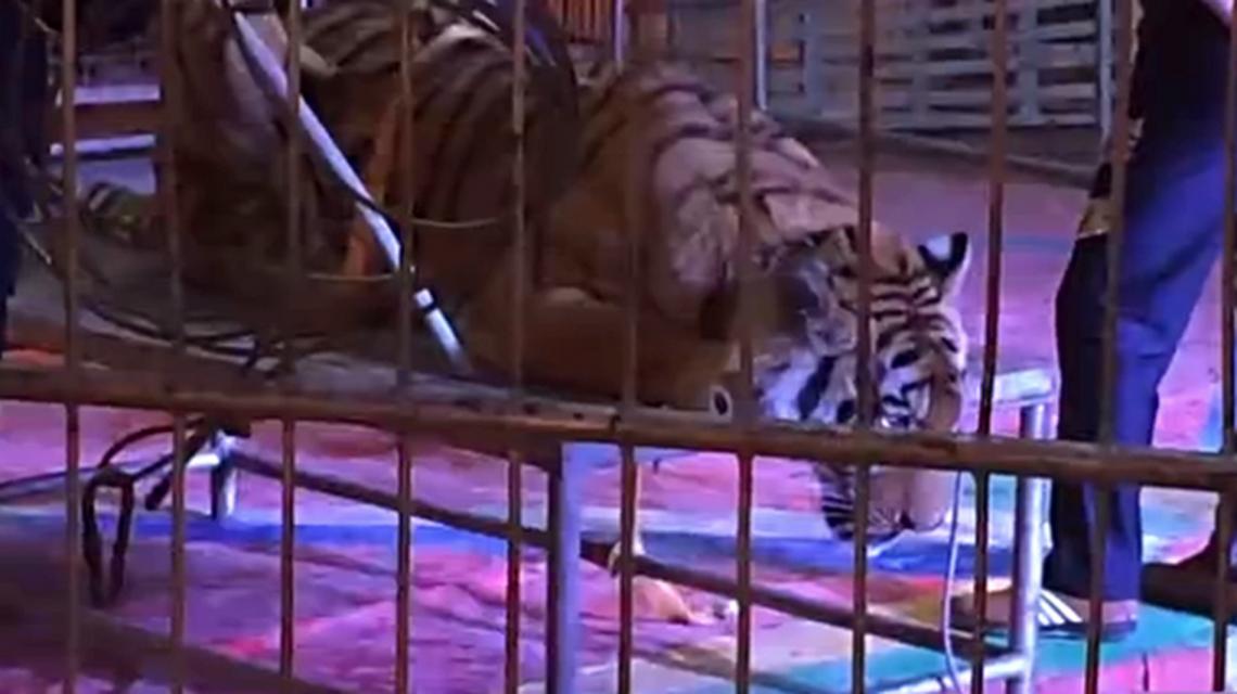 Ataron a un tigre en un circo chino