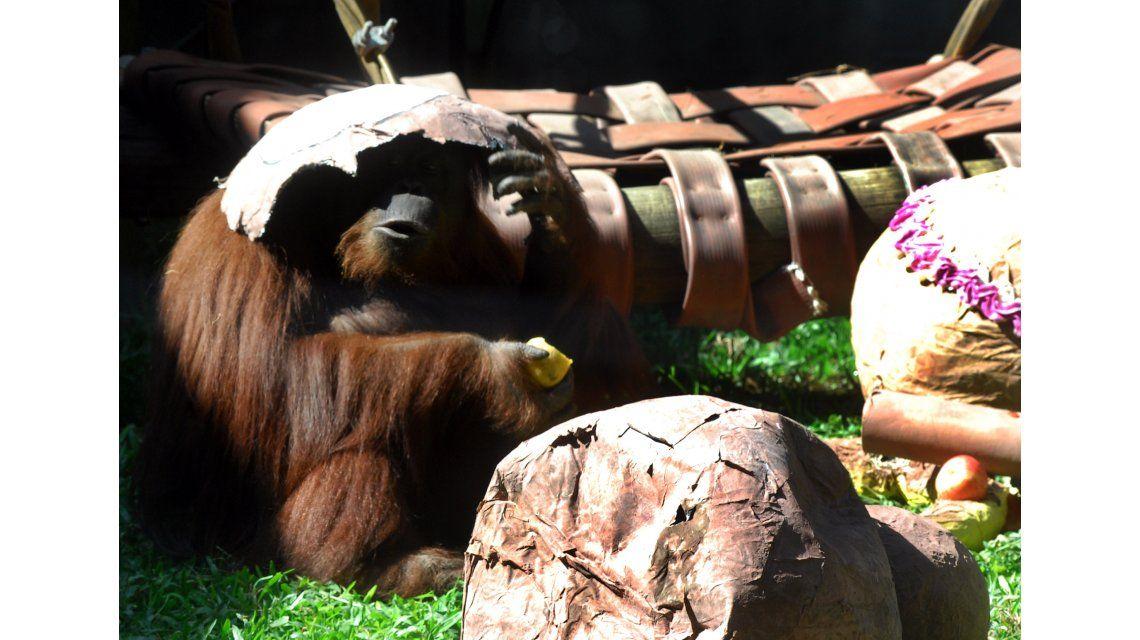 Buscan el mejor destino para la orangutana Sandra