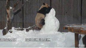 El panda disfrutó de la nieve