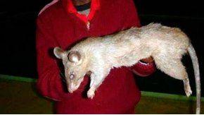 Las ratas gigantes invaden la zona
