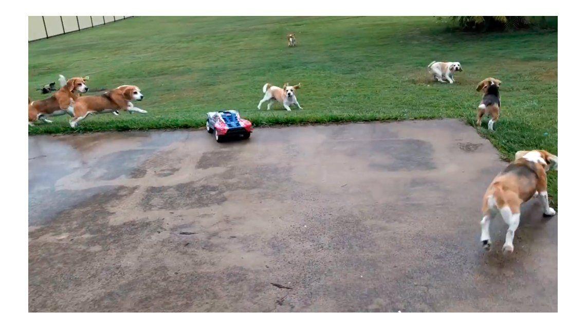 Así se entrena a una familia de beagles